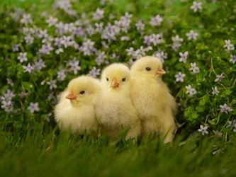 Cute, Fluffy, and Harboring Bacteria - The Truth About Backyard Poultry
